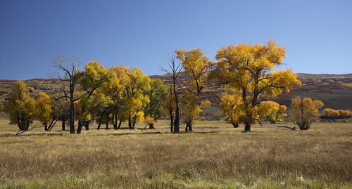 fremontscottonwood populusfremontii fall autumn fallcolors autumncolors earthnaturelife wondersofnature