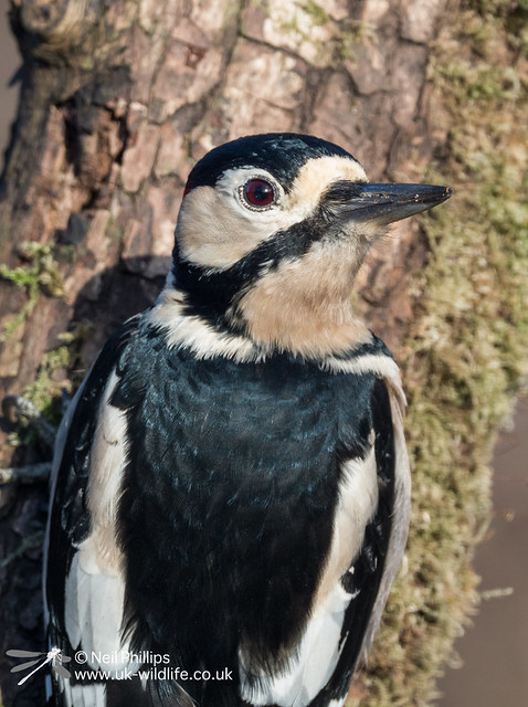 Greater spotted woodpecker-3