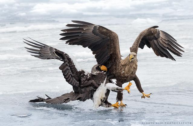 Zeearend / White-tailed eagle / Pygargue à queue blanche / Steller arend / Steller eagle / Pygargue empereur