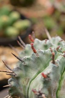 DSC_6147 Euphorbia horrida ユーフォルビア げんこつホリダ