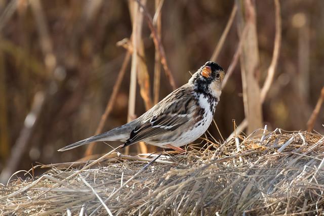Harris's Sparrow (Zonotrichia querula), Bell's Bend, Nashville, Tennessee