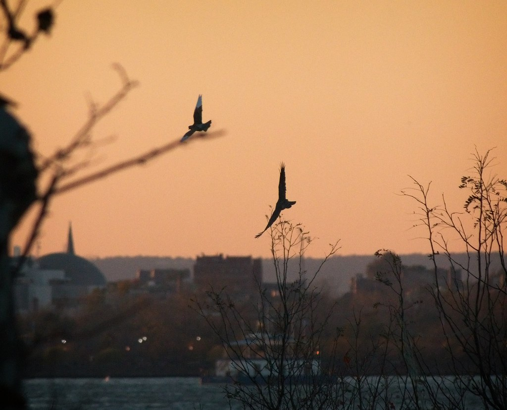 Cooper's hawk chasing a pigeon at sunset