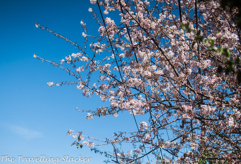 Shillong Cherry (11)