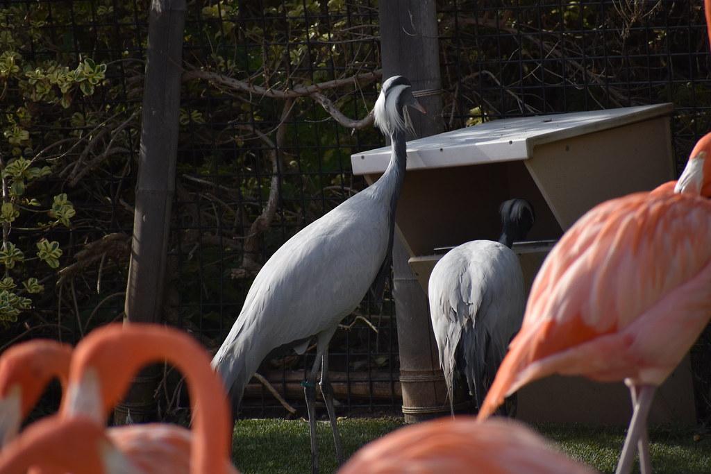 Common Crane 2??