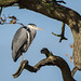 Heron in the Oak Tree