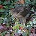 IMG_3560 Sparrowhawk & Parakeet