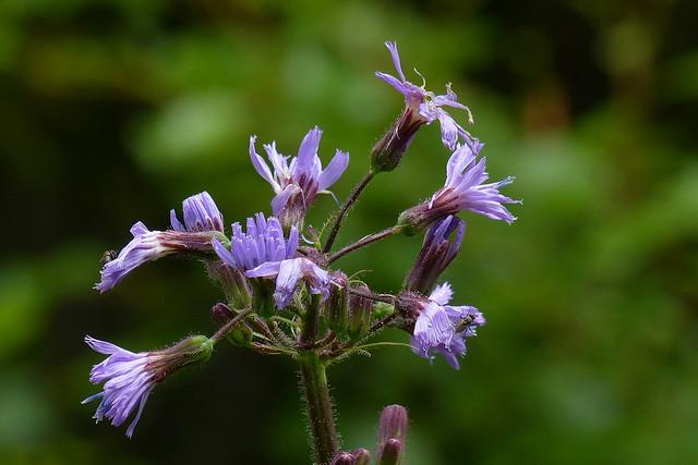 Lactuca alpina (Asteraceae) (Tervola, 20170804)
