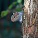 Tom the Squirrel peeping around the tree