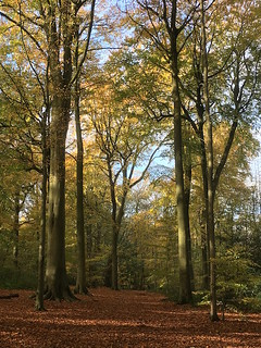 Chorleywood beech woods