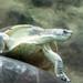 <p><a href=&quot;http://www.flickr.com/people/48788684@N08/&quot;>pashieno</a> posted a photo:</p>&#xA;&#xA;<p><a href=&quot;http://www.flickr.com/photos/48788684@N08/37629726455/&quot; title=&quot;Borneo-Flussschildkröte&quot;><img src=&quot;http://farm5.staticflickr.com/4532/37629726455_f53a2e0815_m.jpg&quot; width=&quot;240&quot; height=&quot;160&quot; alt=&quot;Borneo-Flussschildkröte&quot; /></a></p>&#xA;&#xA;