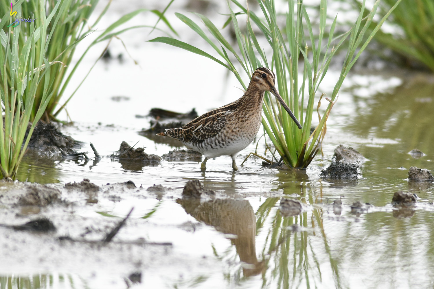 Common_Snipe_5049