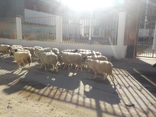 国道の羊たちも