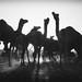 Pushkar by Ashmalikphotography