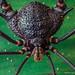 Gonyleptidae: Neosadocus sp. by Techuser