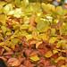 Autumn Leaves ....