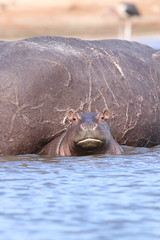 Angry Baby Hippo