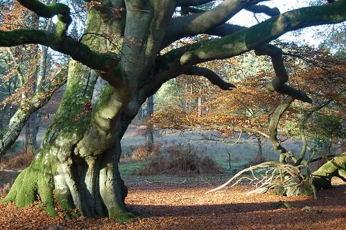 beech-tree-396699_960_720