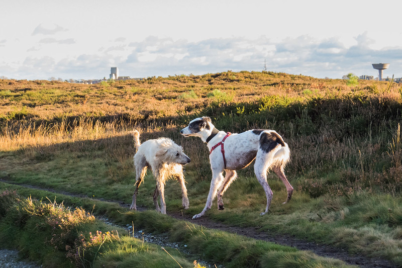 Teddy and Alfie (A Saluki / Border Collie cross) playing