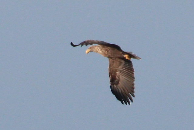 Female eagle making a short flight - IMG_9847xxx
