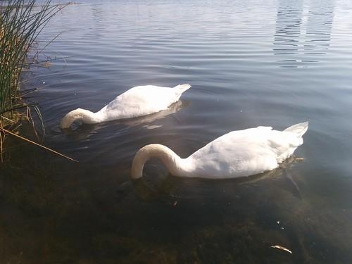 Two swans (1) #toronto #highpark #grenadierpond #birds #swans #white #latergram
