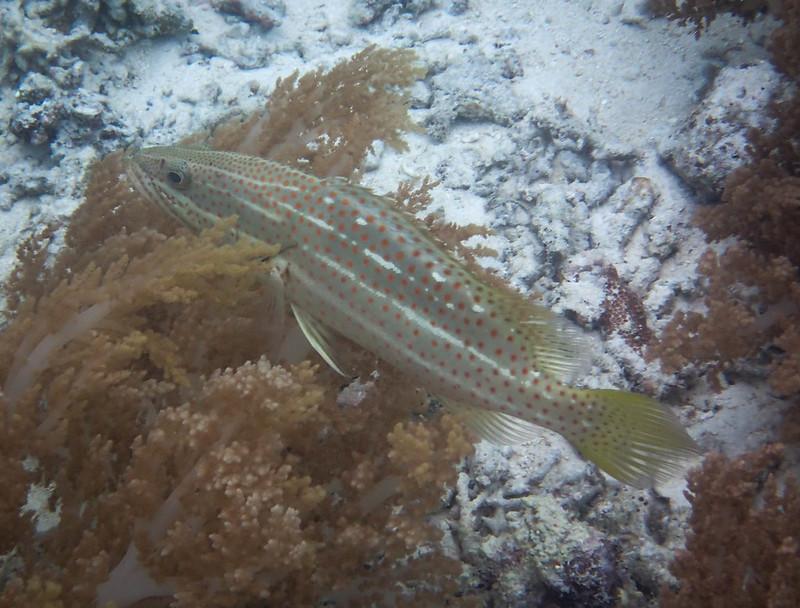 2017-11-10 04.38.47_Slender Grouper_Низкотелый групер