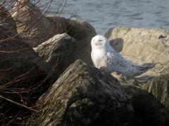 Snowy Owl, Lorain Impoundment, OH 12/04/2017