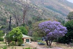 A lilac tree