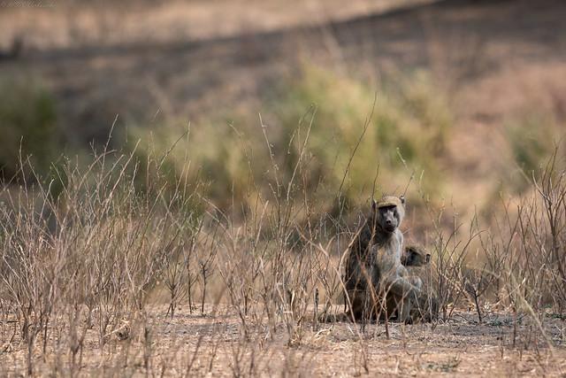 Baboons Taking it Easy, Nikon D500, AF-S VR Nikkor 400mm f/2.8G ED