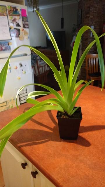 Orchidées chez lavandula - Page 2 23924428447_cdb65f2d06_z