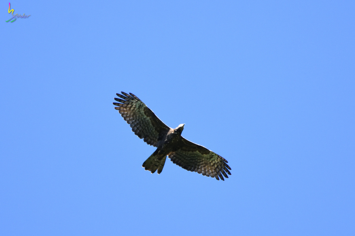 Honey_Buzzard_4141
