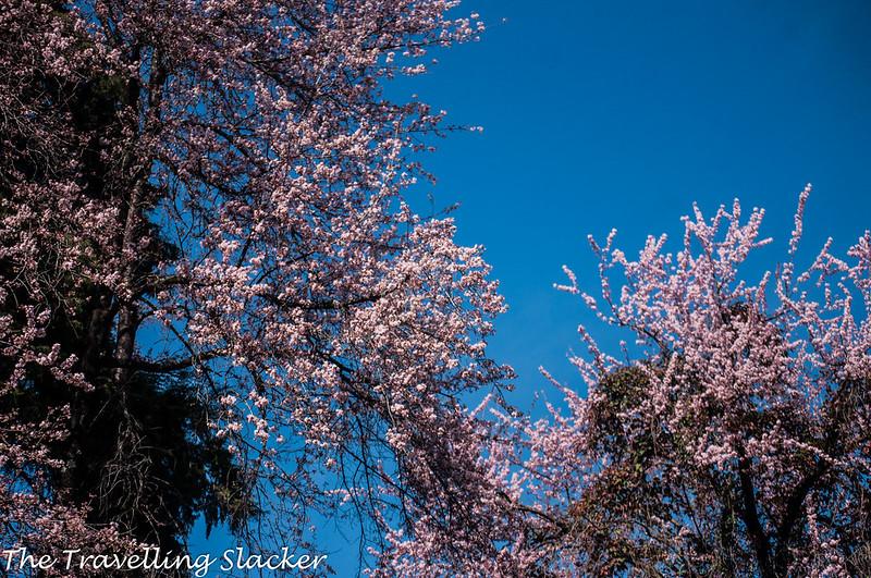 Shillong Cherry (21)