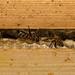 Honey bees (Apis mellifera) on honey comb in hive