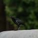 El ave de color metálico por S. Alexis