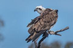 Eastern Osprey: Preeening in Progress