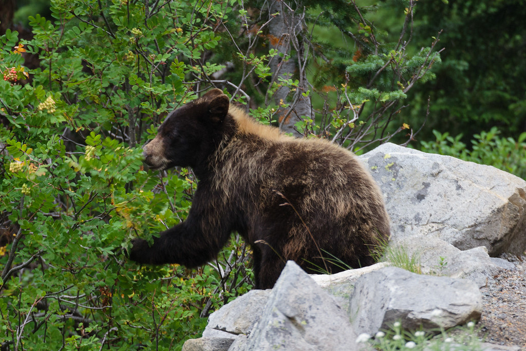 A black bear with brown fur browses on huckleberries near the Skyline Trail in the Paradise area of Mount Rainier National Park