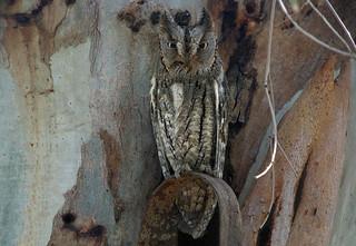 Eurasian Scops Owl (Otus scops), Kalloni, Lesvos, Greece, 19.04.2015