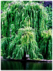 Fast-growing tree of Salix babylonica (Weeping Willow, Peking Willow, Chinese Weeping Willow, Babylon Weeping Willow, Babylon Willow) that reaches up to 18 m tall, 1 Dec 2017