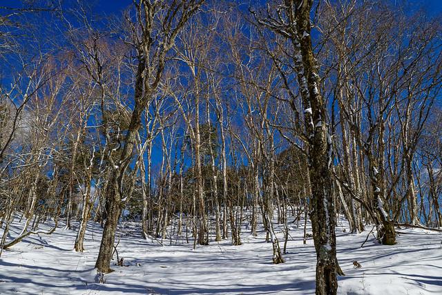 黒岳と白谷ノ丸の間の樹林帯