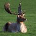 Fallow Deer Buck BP 8th Nov 2017