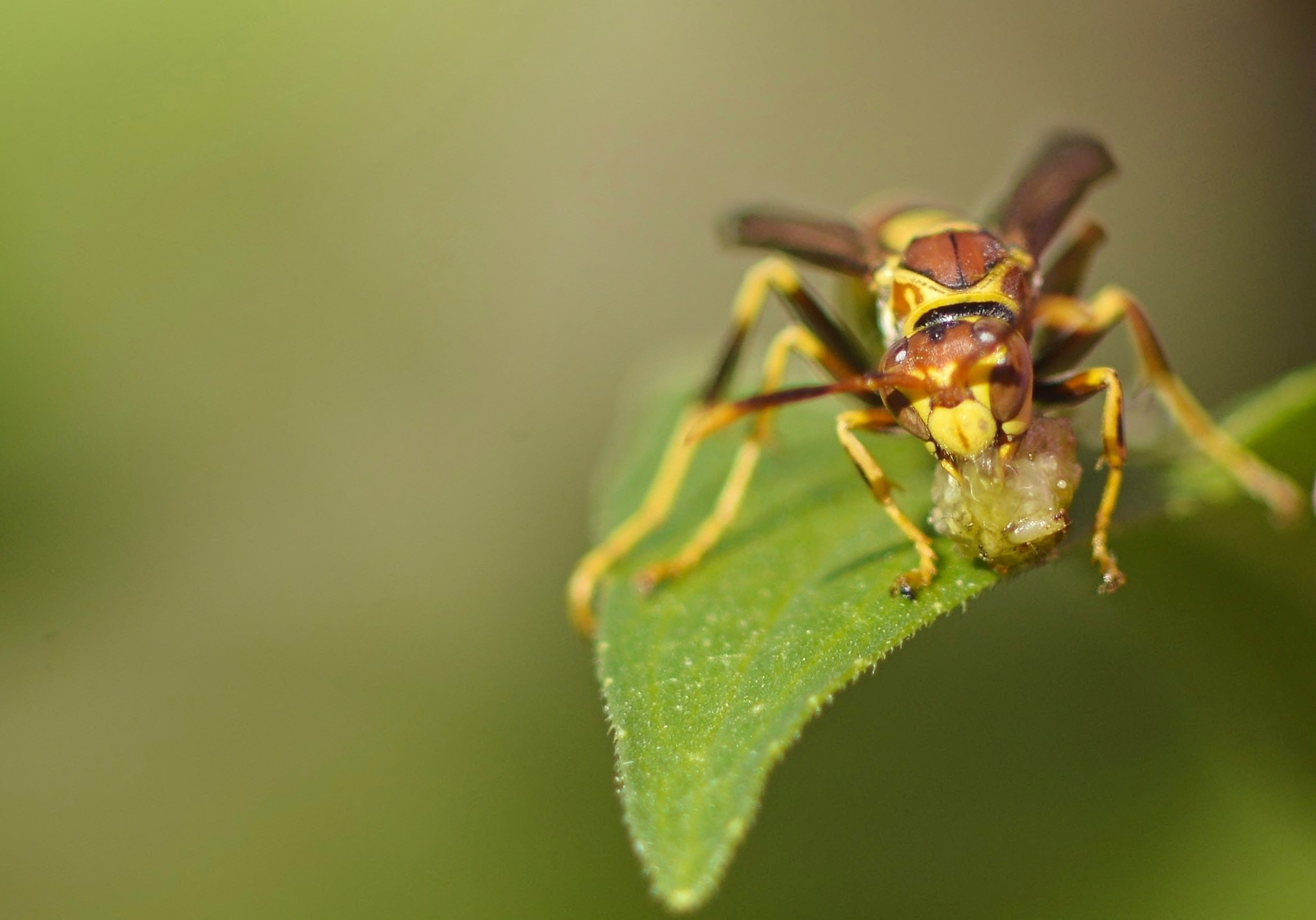 A Wasp in Labor of Love