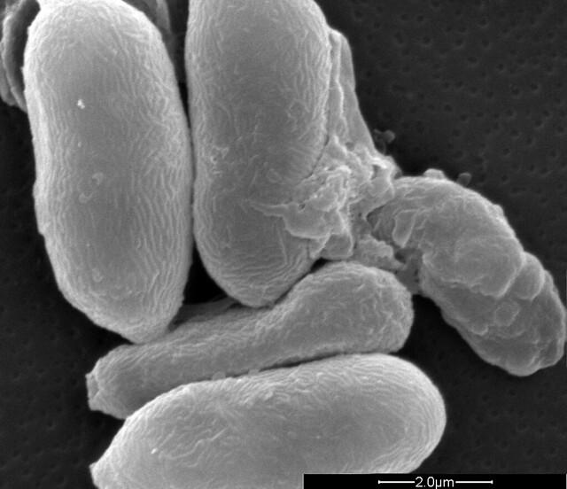 Germinating Metarhizium anisopliae conidia