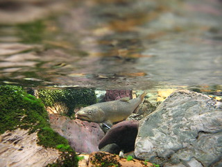 Bull Trout_West Fork Clearwater River
