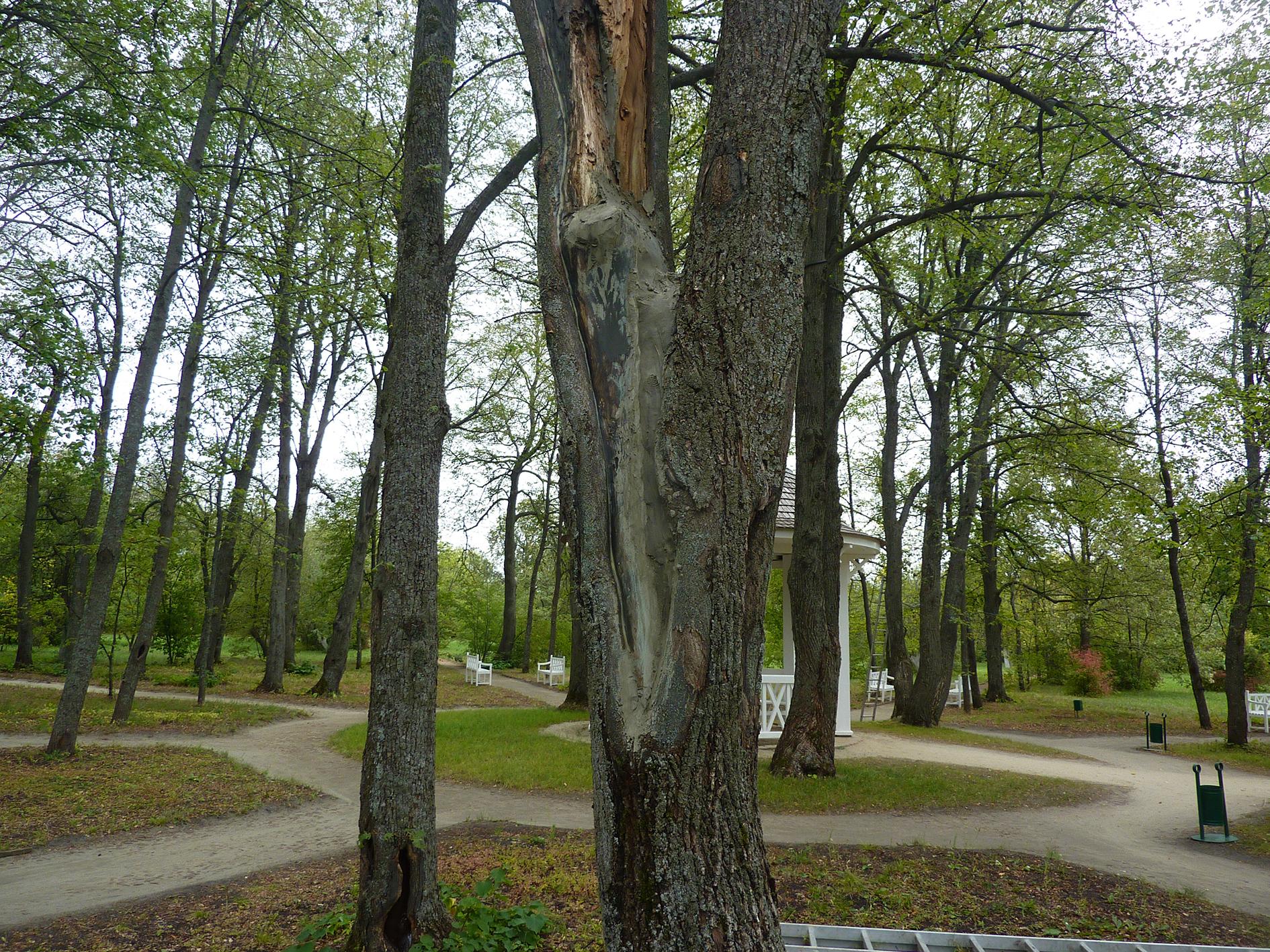 Старая липа рядом с беседкой в Дальнем саду. До начала лечения