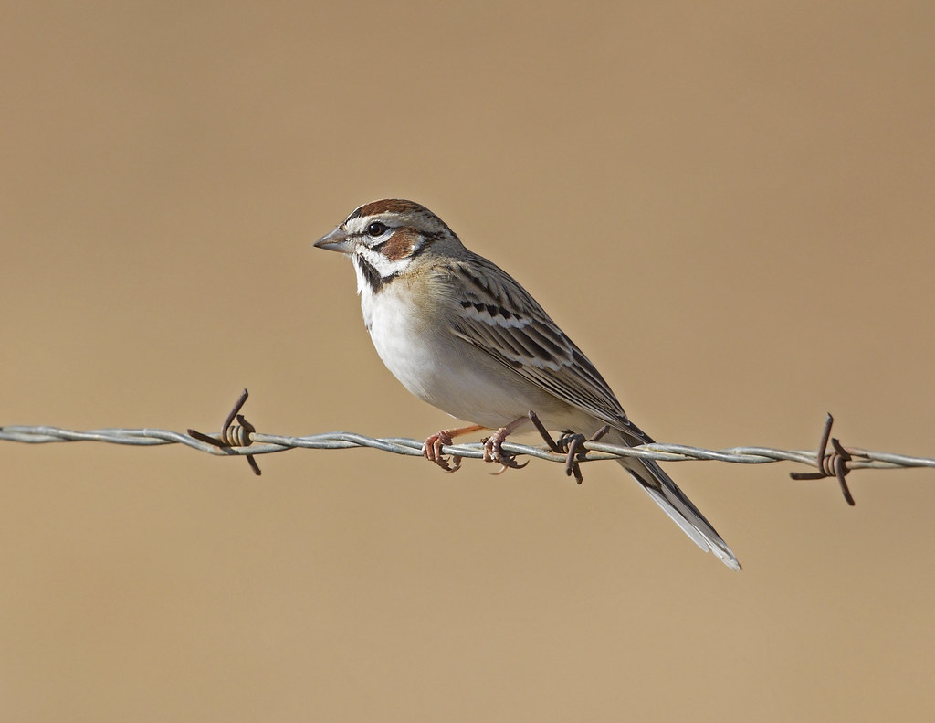 lark sparrow - Coyote Valley Open Space Preserve