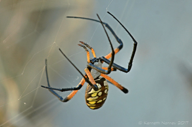 BLACK-AND-YELLOW ARGIOPE 11