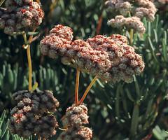 J20151112-0030—Eriogonum arborescens—RPBG-1—DxO