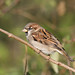 Cock sparrow (Greylake)