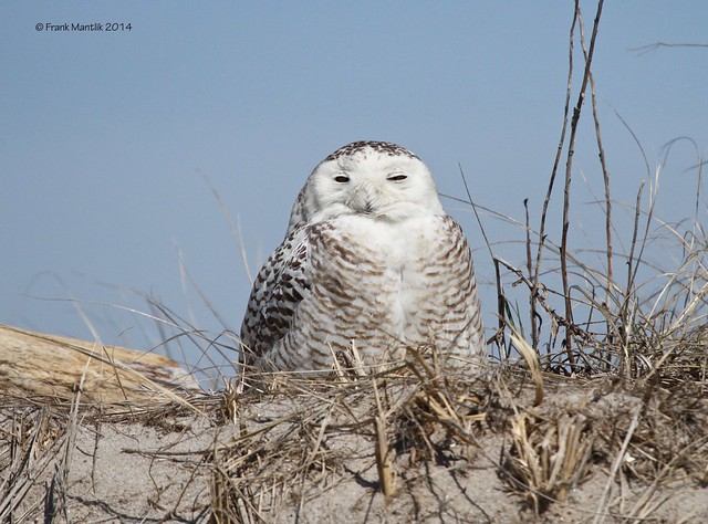 Snowy Owl (Bubo scandiacus), Canon EOS 7D, Canon EF 100-400mm f/4.5-5.6L IS USM