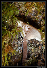 Clitocybe en coupe (Pseudoclitocybe cyathiformis) - Photo of Champagny