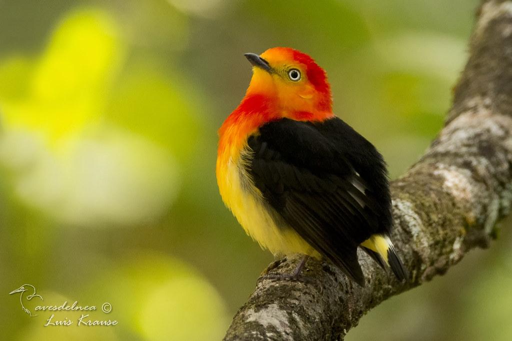 Bailarín naranja (Band-tailed manakin) Pipra fasciicauda